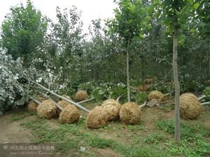 新疆杨挖树2.jpg