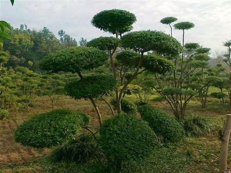 榆树 造型树