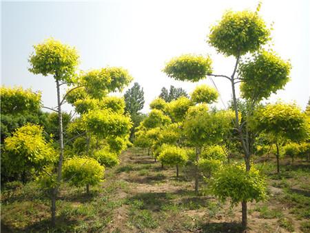 金叶榆 造型树